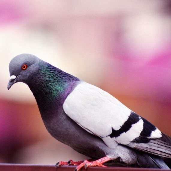 Birds, Pest Control in Peckham, Nunhead, SE15. Call Now! 020 8166 9746