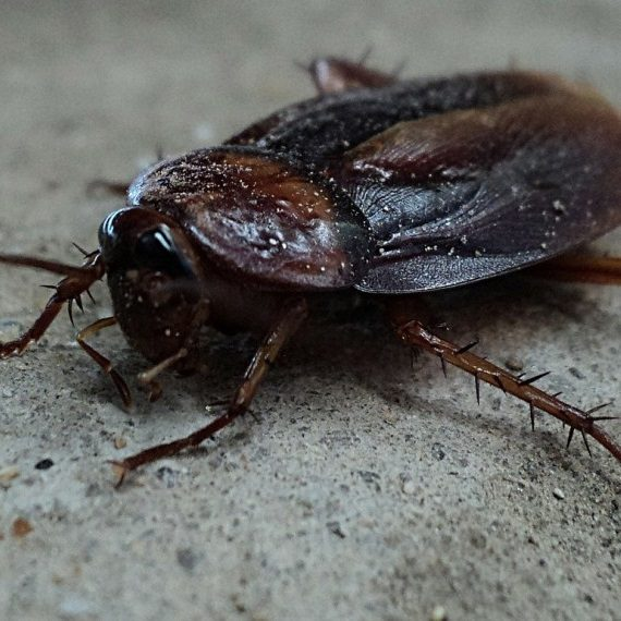 Cockroaches, Pest Control in Peckham, Nunhead, SE15. Call Now! 020 8166 9746