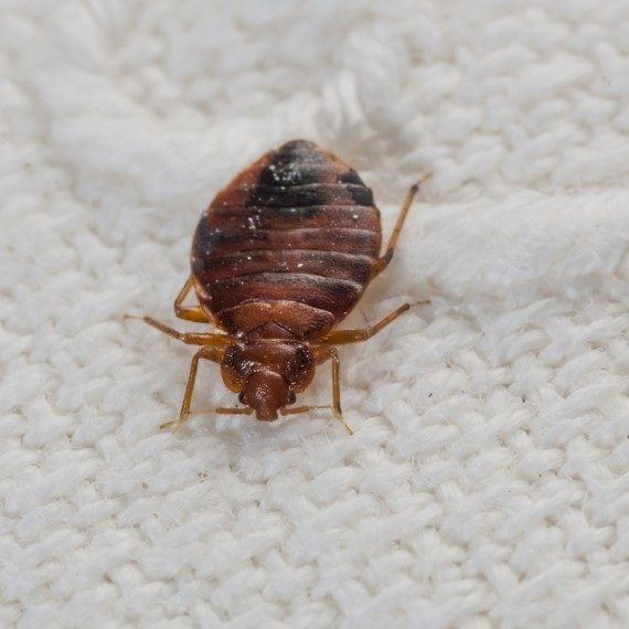 Bed Bugs, Pest Control in Peckham, Nunhead, SE15. Call Now! 020 8166 9746