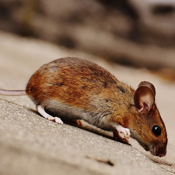 Mice, Pest Control in Peckham, Nunhead, SE15. Call Now! 020 8166 9746