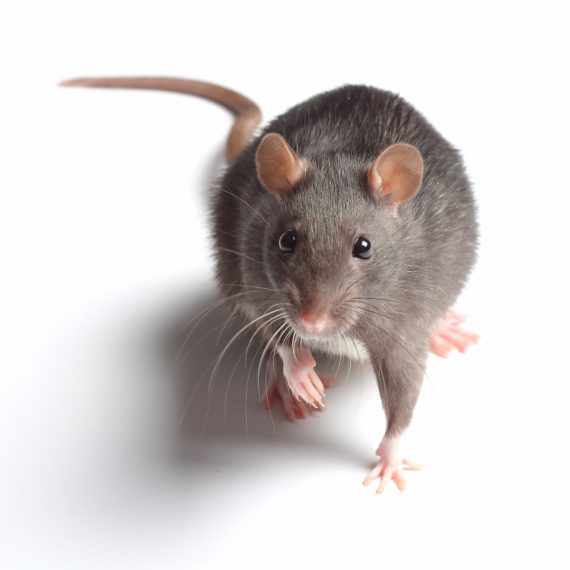 Rats, Pest Control in Peckham, Nunhead, SE15. Call Now! 020 8166 9746