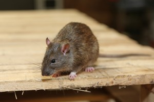Rodent Control, Pest Control in Peckham, Nunhead, SE15. Call Now 020 8166 9746